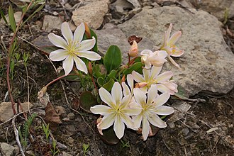 Wenatchee Mountains - Lewisiopsis tweedyi on Tronsen Ridge, Wenatchee Mountains