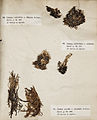 Lichenes Helvetici III IV 1842 005.jpg