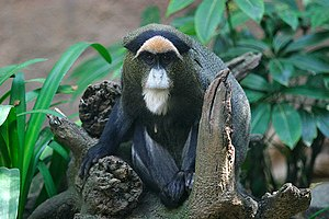 (De Brazza's Monkey) taken at the Los Angeles Zoo