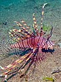 Likely Common Lionfish (6851421266).jpg