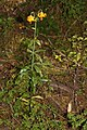 Lilium columbianum 3199.JPG