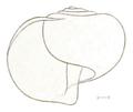 Limacina antarctica shell.png