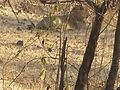 Lion Gir Forest.jpg