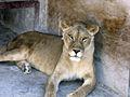 Lioness Juliana.JPG