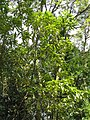 Litsea acuminata3.jpg