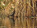 Little Cormorant (Microcarbo niger) (33184864406).jpg