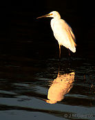 Little Egret -At Sunset at Bharatpur- IMG 8779.jpg