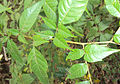 Little Praying Mantises on the leaves of Chukrasia tabularis 2.jpg