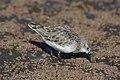 Little stint, Calidris minuta (Erolia minuta), at Marievale Nature Reserve, Gauteng, South Africa (45489023512).jpg