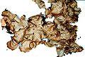 Lobaria quercizans-6.jpg