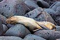 Lobo marino (Zalophus californianus wollebaeki), isla Lobos, islas Galápagos, Ecuador, 2015-07-25, DD 43.JPG