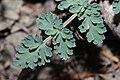 Lomatium martindalei 5211.JPG