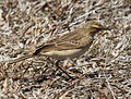 Long-billed Pipit RWD.jpg