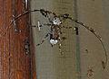 Longhorn Beetle (Lasiopezus longimanus) male (12680407693).jpg