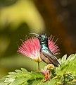 Loten's Sunbird AMSM9794.jpg
