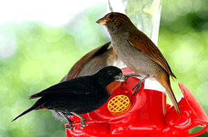 Lesser Antillean bullfinch - Male and two females in Dominica