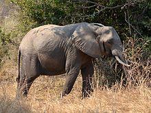 hoe groot is een olifant penis doet anale seks pijn voor een meisje