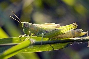 Live Food - Locust