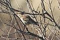 Lullula arborea 114283166.jpg