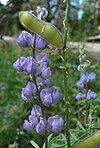Lupinus argenteus 4