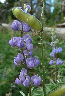 <i>Lupinus argenteus</i> species of plant