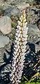 Lupinus polyphyllus at Lake Tekapo 02.jpg