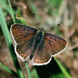 definition of lycaena