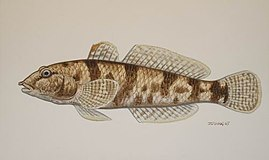 Márton Zsoldos, Drawing of the tarka géb (Proterorhinus semilunaris, 2007).jpg