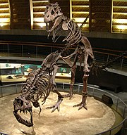 Tyrannosaurus skeleton casts mounted in a mating position, Jurassic Museum of Asturies.