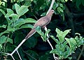 MacKinlay's Cuckoo-Dove (Macropygia mackinlayi) (15716376852) (cropped2).jpg