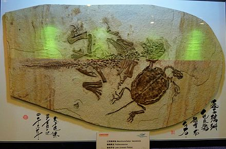 Psittacosaurus fossil from China preserved on a slab alongside Ordosemys liaoxiensis, displayed in Shanghai Ocean Aquarium Machurochelys liaoxiensis and Psittacosaurus.jpg