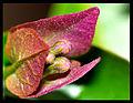 Macro Bougainvillaea Flower (2572509787).jpg