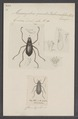 Macronychus - Print - Iconographia Zoologica - Special Collections University of Amsterdam - UBAINV0274 018 11 0011.tif