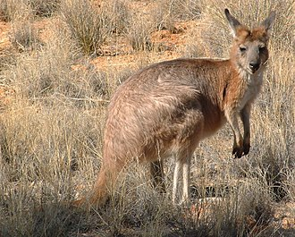 Common wallaroo - Euro (Macropus robustus erubescens)