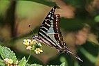 Madagascar swordtail (Graphium evombar) male underside.jpg