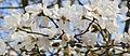Magnolia (3363208195).jpg