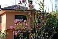 Magnolia in fiore ad Ariccia Monte Gentile - panoramio.jpg