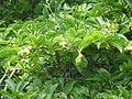Magnolia kobus (21390959035).jpg