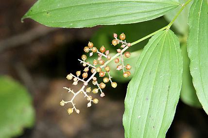 Maianthemum racemosum SCA-4355-56.jpg