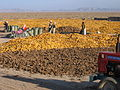 Maize and sunflower harvest Chahaertan (10697941095).jpg