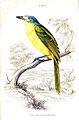 Malaconotus blanchoti.jpg