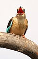 Male Brown-hooded Kingfisher, Halcyon albiventris singing for his mate, Tzaneen area, Limpopo, South Africa (14897103343).jpg