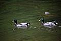 Mallard-ducks-swimming - West Virginia - ForestWander.jpg