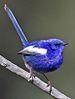 75px malurus leucopterus