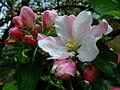 Malus domestica flores.jpg