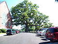 Manchester, Maryland White Oak Tree.jpg