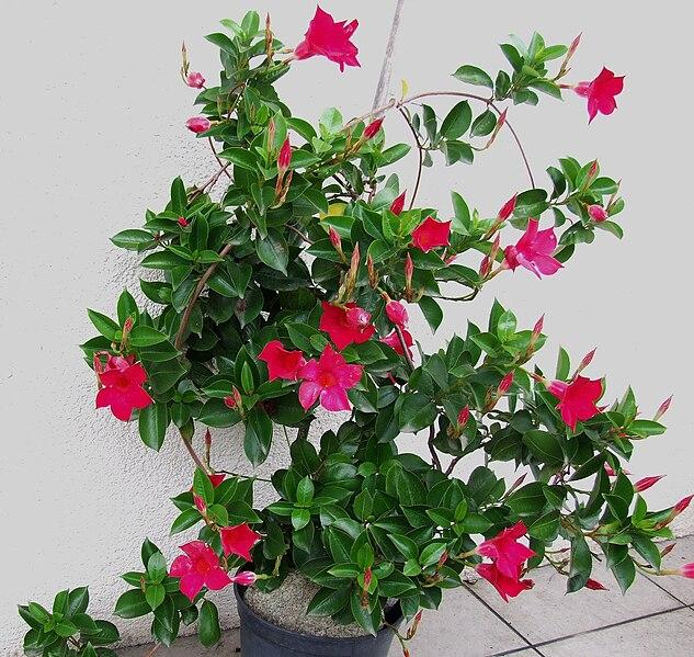 File mandevilla sanderi a1 jpg wikimedia commons for Dipladenia sanderi