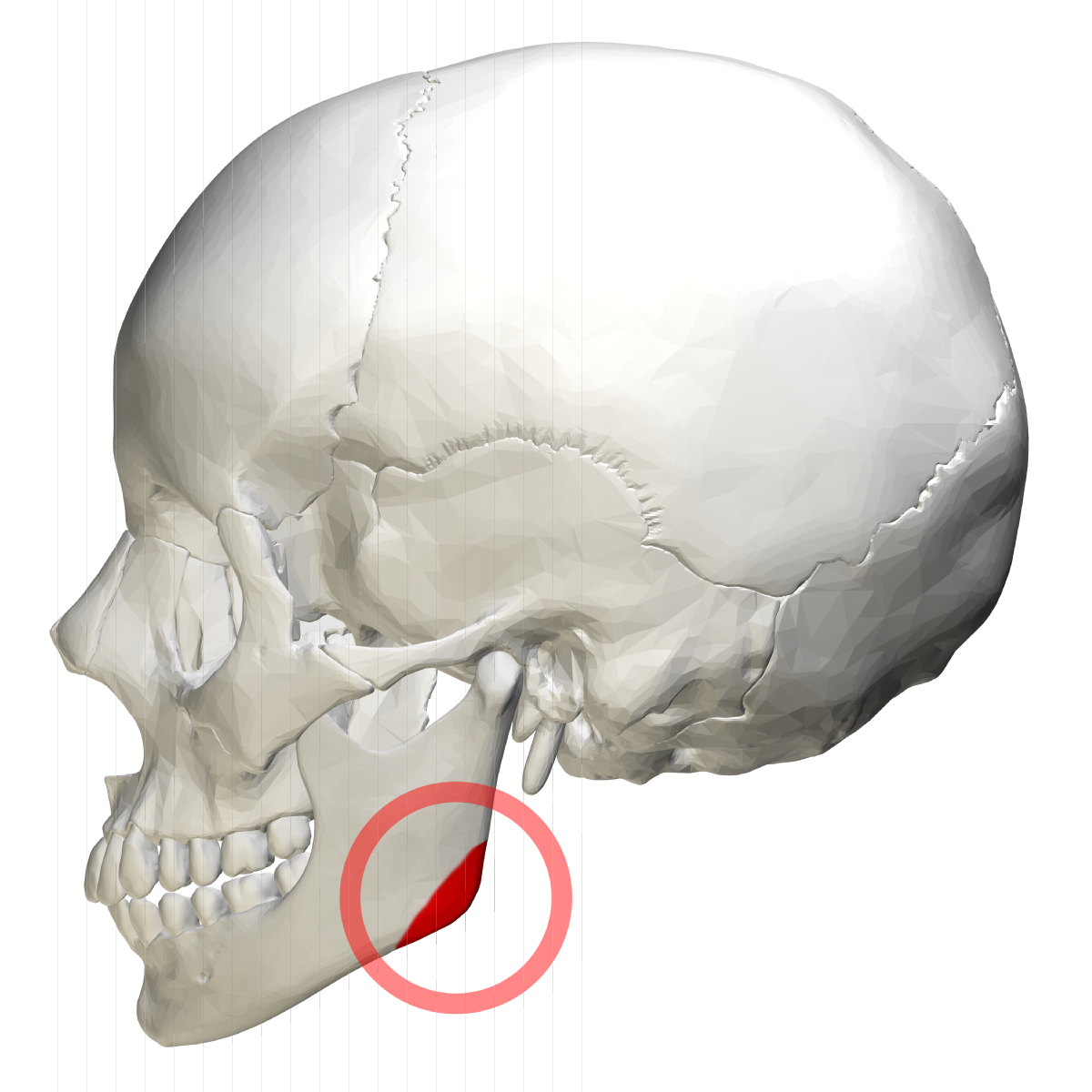 Angle Of The Mandible Wikipedia