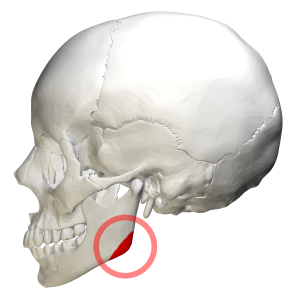 Angle of the mandible - Human skull. Position of angle of the mandible shown in red.