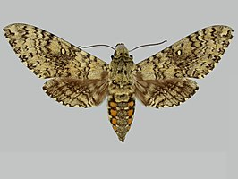 Manduca stuarti BMNHE273643 male up.jpg